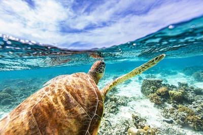 Sea turtle swimming in the Caribbean Sea